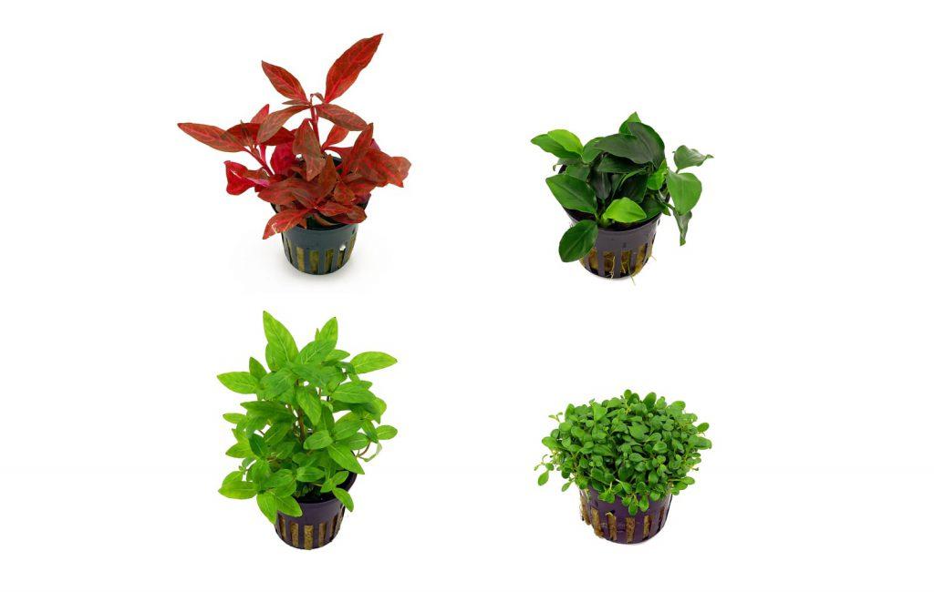 Aquascaping plants.